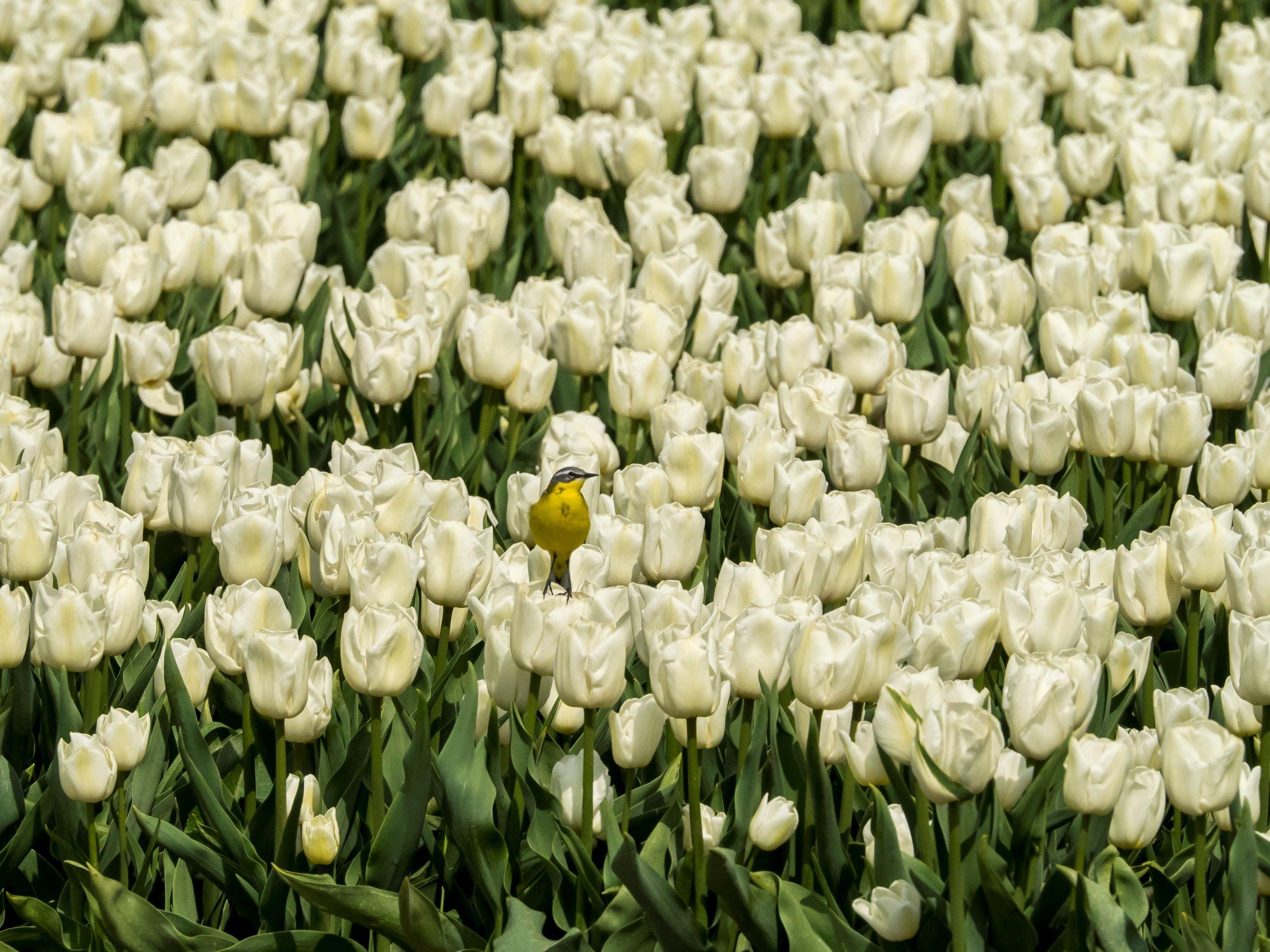 tulips-bird