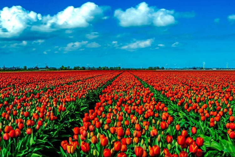 tulips westfriesland